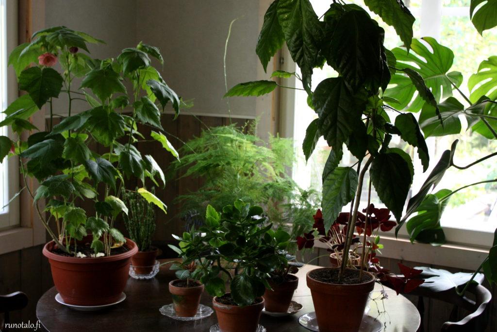huonekasveja runotalossa, kiinanruusu ja vaahtera-aulio muuttivat takaisin sisälle talveksi