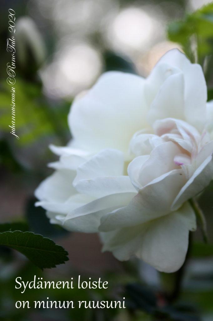 voimakortti Sydämeni loiste on minun ruusuni